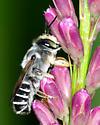 Bee on Liatris - Megachile inimica