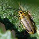 Is this Trirhabda diducta? - Trirhabda eriodictyonis - male
