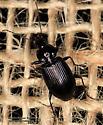 Carabidae - Agonum