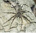 Wolf Spider -- genus? - Dolomedes tenebrosus - male