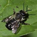 Megachilid Bee - Megachile gemula