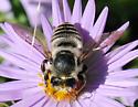 Leaf-cutter bee - Megachile mendica - female