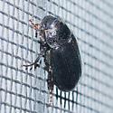 Glossy black and marroon scarab - Diplotaxis liberta