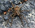 Dark Fishing Spider - Dolomedes tenebrosus