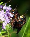 Anthidiellum? - Anthidiellum perplexum - male - female