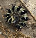 Caterpillar  - Vanessa virginiensis