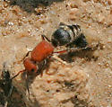 Mutillidae -? - Timulla - female