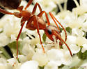 Red Ants - Formica incerta - female
