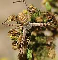 Argiope trifasciata - female