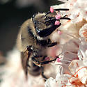 ID for a bee on buckwheat? - Colletes slevini