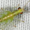 Lacewing ZH3Z5097 - Chrysoperla