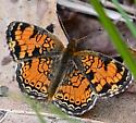 Crescentspot Butterfly/ - Phyciodes tharos
