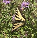 Black/Yellow butterfly. Pale Tiger Swallowtail?? - Papilio rutulus