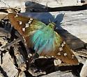 Turquoise Longtail - Urbanus evona - female