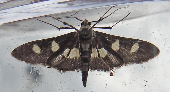 Desmia maculalis - Grape Leafroller - Hodges#5160 - Desmia maculalis