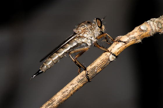 Neomochtherus auricomus - female