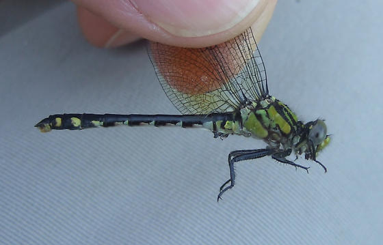 Pygmy Snaketail - Ophiogomphus howei - male
