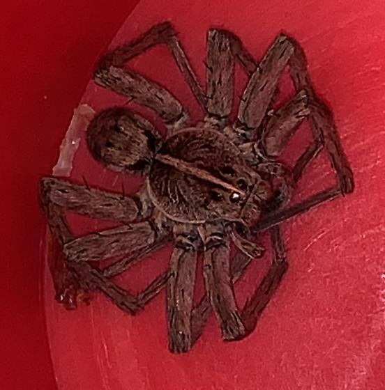 Unknown spider  - Tigrosa