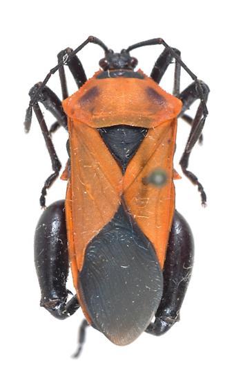 Sagotylus confluens - male
