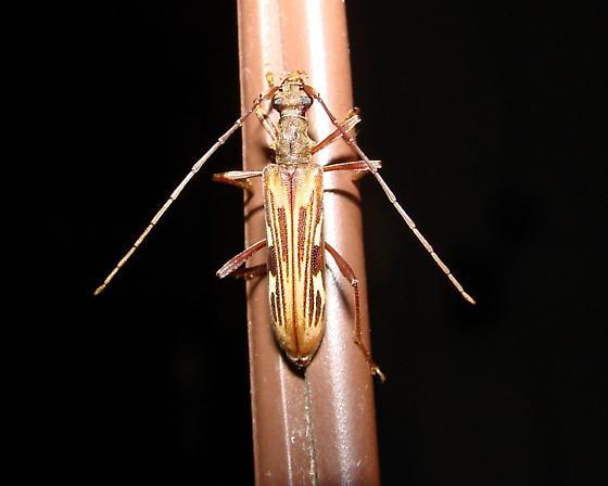 Longhorn Beetle - Leptorhabdium pictum