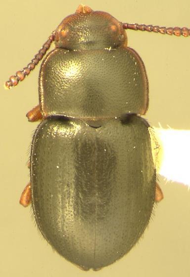 Notibius laticeps Casey - Notibius puberulus