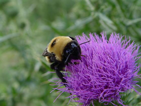 American Bumblebee - Bombus - female