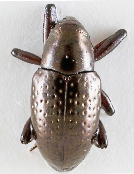 Snout Beetle - Tyloderma punctatum