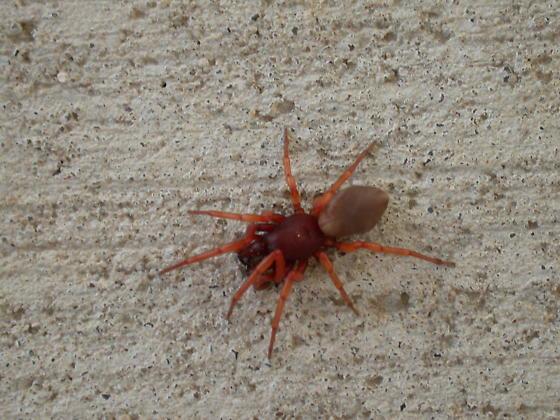 Spider Eastern Nebraska - Dysdera crocata
