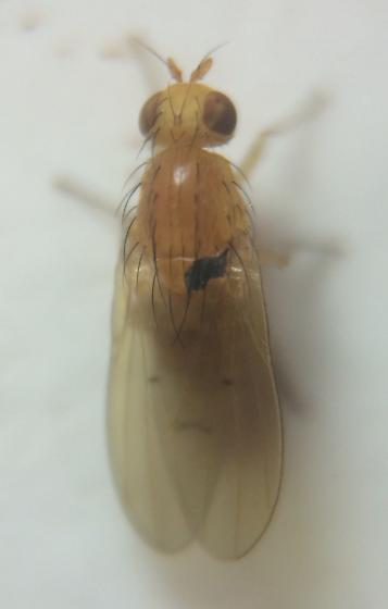 Fly - Homoneura imitatrix