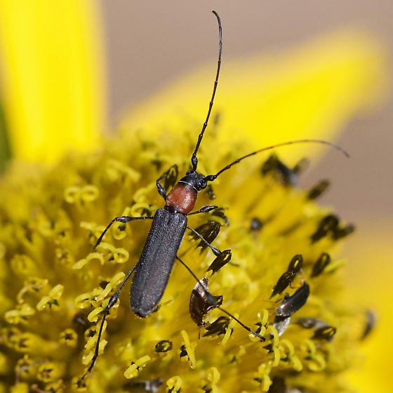 Small Orange and Black Long-horned Beetle - Rhopalophora meeskei