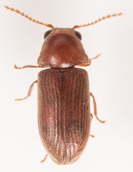 Beetle - Euvrilletta harrisii