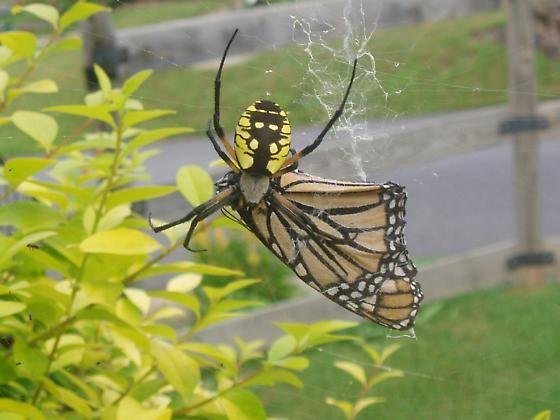 Golden Orb Weaver eating Monarch - Argiope aurantia - female