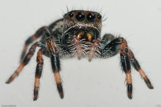 Colorful spider - Phidippus regius