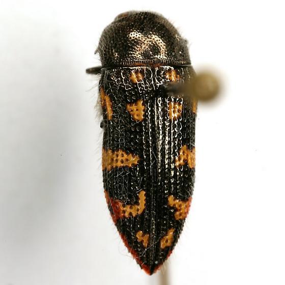 Acmaeodera recticollis Fall - Acmaeodera recticollis