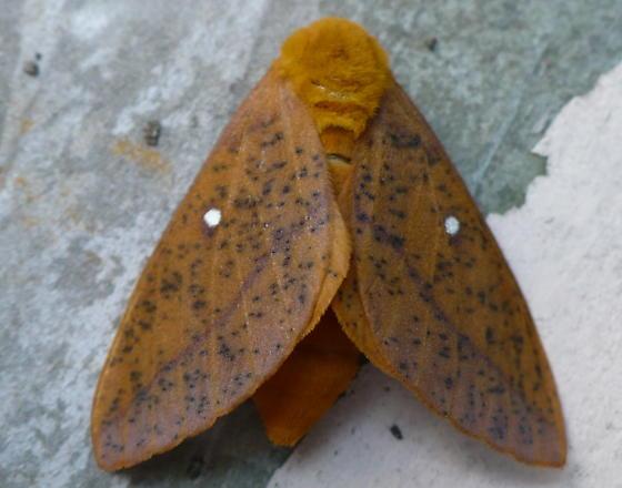 I think its an orange tipped oakworm moth - Anisota stigma - female