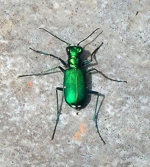 I don't see six spots on this beetle, but... - Cicindela sexguttata
