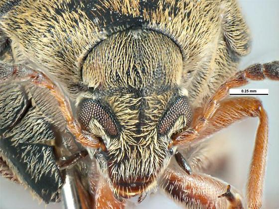 Acanthoscelides obtectus