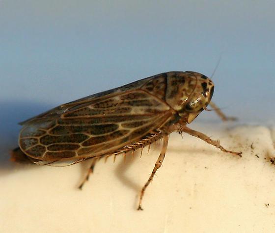 leafhopper - Euscelidius variegatus