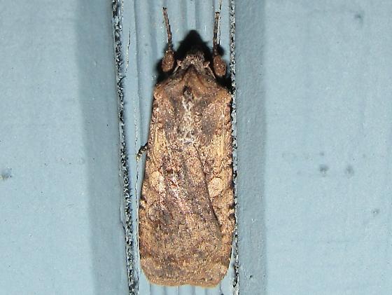 moth sp. - Peridroma saucia