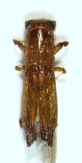 playpodine - Euplatypus compositus