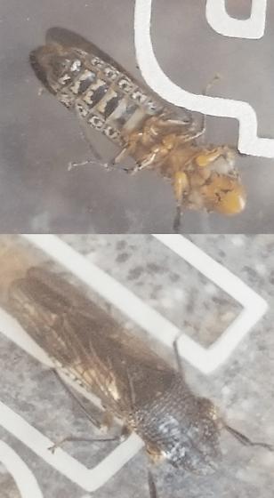 Cannabis bug - Homalodisca vitripennis