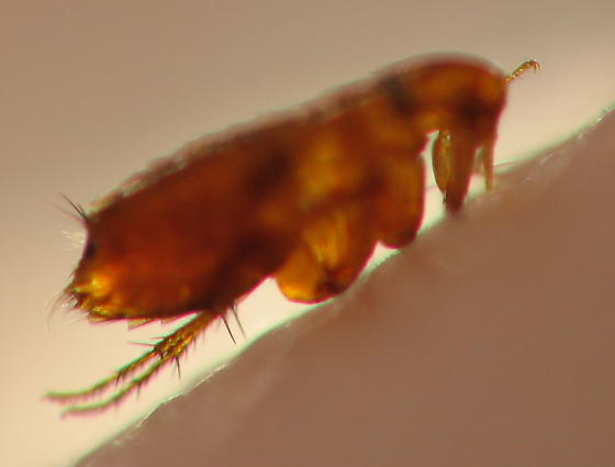 NEW FAMILY Ceratophyllidae