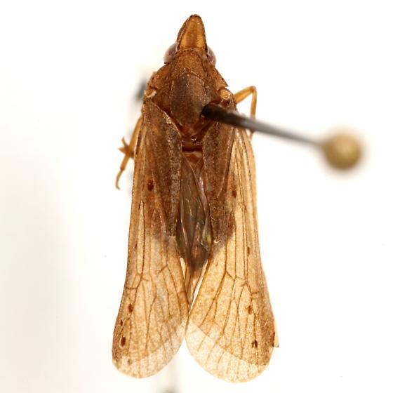 Cixidia (Epiptera) fusca (Walker) - Cixidia fusca