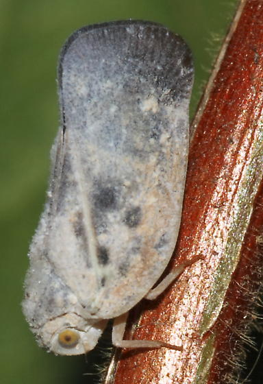 Blue Tinted Planthopper - Metcalfa pruinosa