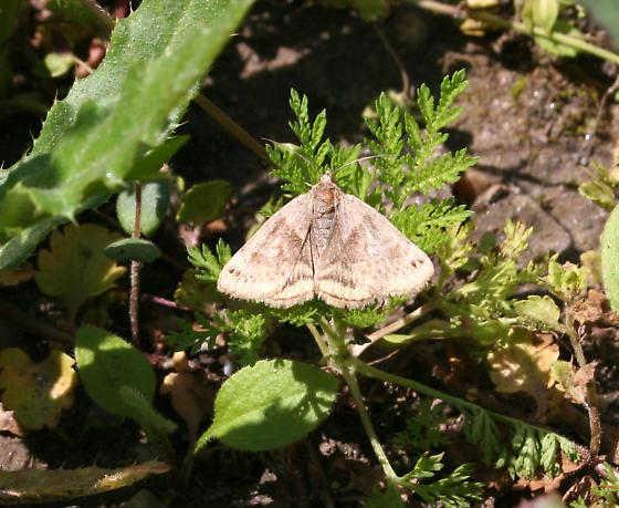 Which moth, please? - Caenurgina crassiuscula