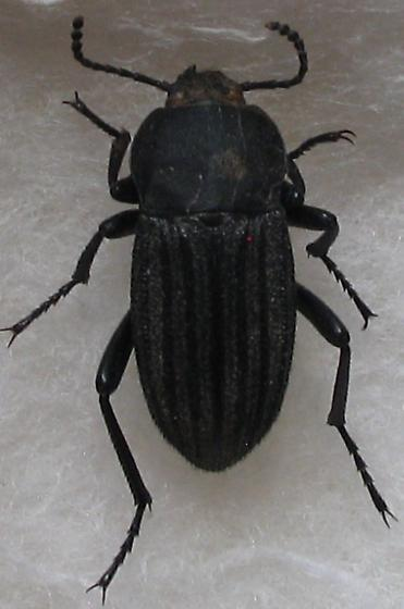 Tenebrionidae, any ideas to an I.D.? - Eleodes tricostata
