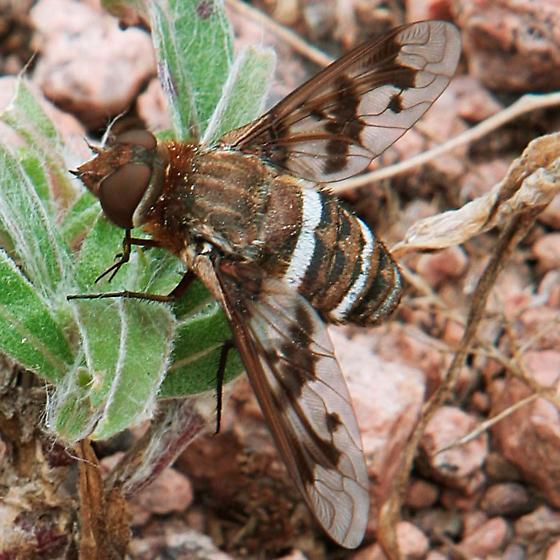 Exoprosopini Tribe Bee Fly - Exoprosopa iota