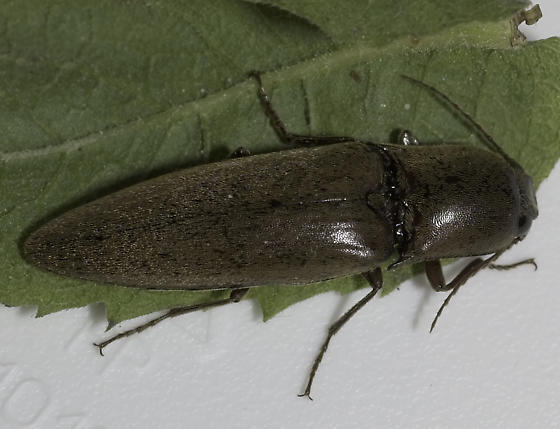 Large click - Orthostethus infuscatus