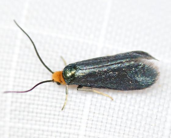 Maple Leafcutter Moth, 0181 - Paraclemensia acerifoliella