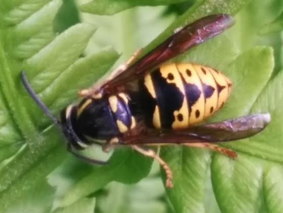 hornet/wasp - Dolichovespula arenaria - female